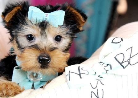 yorkies for sale in modesto ca 17 best ideas about teacup yorkie on yorkie terriers and yorkie