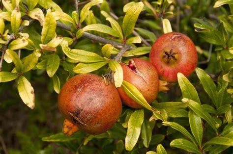 Granatapfel Garten Pflanzen by Granatapfelbaum Pflanzen Und Pflegen Mein Sch 246 Ner Garten