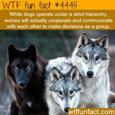 difference between wolves and dogs animals on facts monkey and polar bears