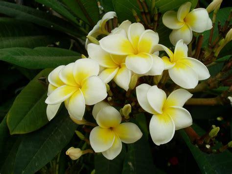 plomeria la central plumeria plumeria rubra y plumeria alba plantas riomoros