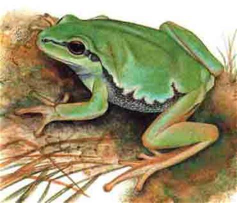 imagenes de ranitas verdes ranas hermosas parte 1 taringa