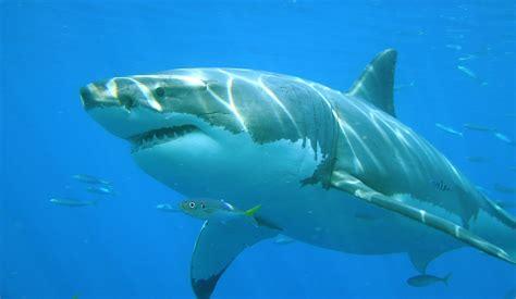 imagenes de tiburones wallpaper cuantos a 241 os viven los tiburones y c 243 mo se puede calcular