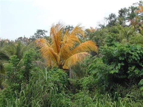 figure yellowing lethal yellowing palm symptoms