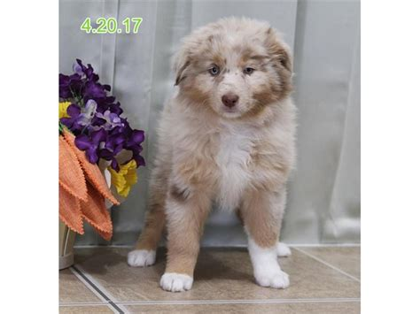 how much are puppies at petland australian shepherd puppies petland carriage place