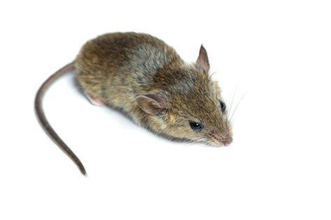 muizen in huis muizen herkennen meldpunt ongedierte