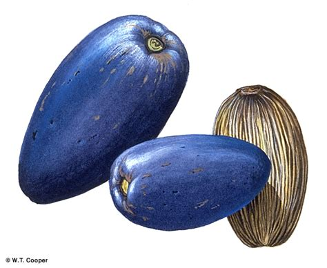 factsheet cerbera floribunda