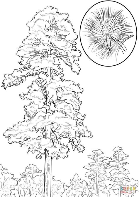 coloring page of pine trees white pine tree coloring pages coloring pages