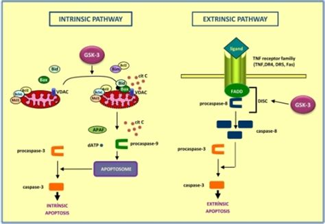 r protein and intrinsic factor figure 1 gsk 3 mouse models to study neuronal apoptosis