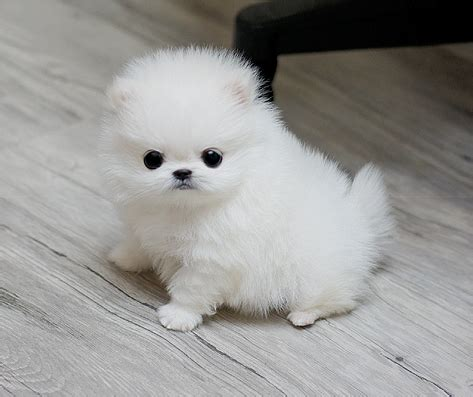 pomeranian for sale uk teacup pomeranian sweet puppies for sale