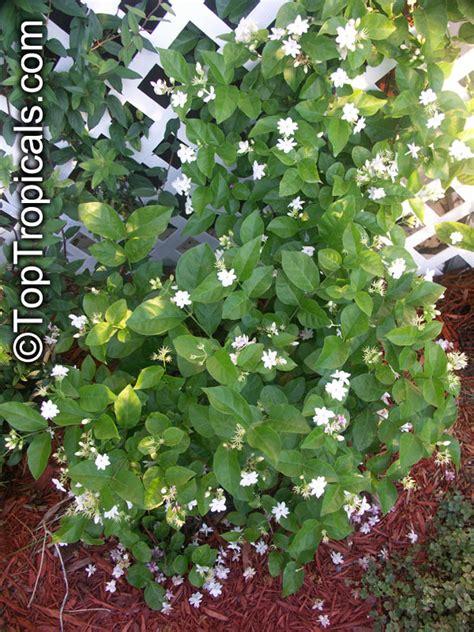 jasminum sambac maid  orleans nyctanthes sambac maid