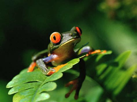 colorful frogs free high definition wallpapers colorful frog wallpapers