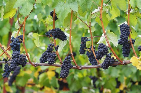 Green And Red Kitchen Ideas Introduction To Pinot Noir Wines