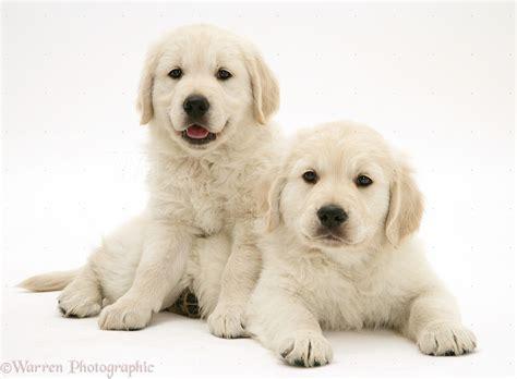 smiley golden retriever dogs smiley golden retriever pups photo wp40851
