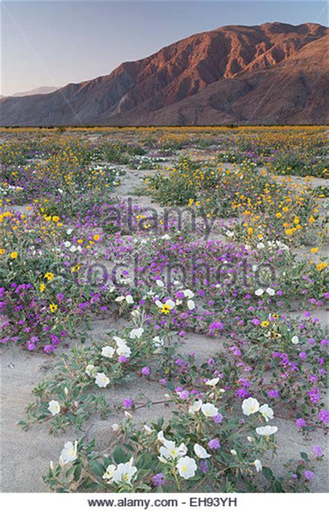 anza borrego henderson canyon desert sand verbena anza borrego stock photos desert