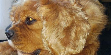 Do Cavalier King Charles Spaniels Shed do cavalier king charles spaniels shed their fur