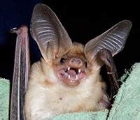 what foods do bats eat asu ask a biologist