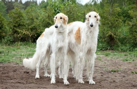 borzoi puppy borzoi russian wolfhound breed guide information and pictures breeds picture