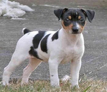 Rat Terrier Shedding by Pin Small Teacup Images On