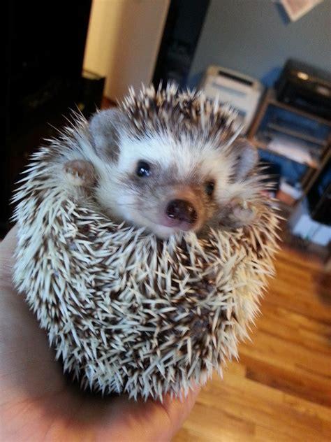 9 faqs about owning a pet hedgehog writer lisa van allen
