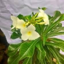 tanaman kecombrang honje torch ginger bibitbungacom