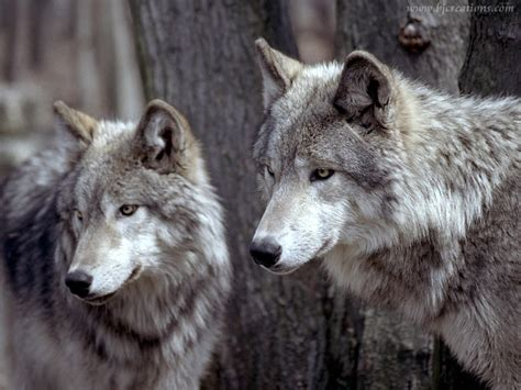 wolf s wolf wolves wallpaper 32863741 fanpop