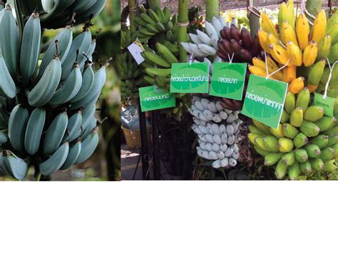 how many types of bananas are there greenanswers