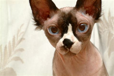 File:Hairless Sphynx Cat   Wikimedia Commons