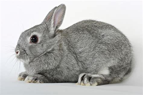 Grey Rabbits netherland rabbit colors
