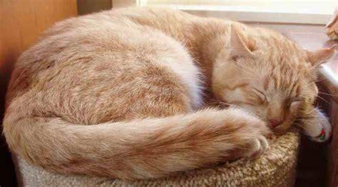 Sleeping Orange Cat cats domestic