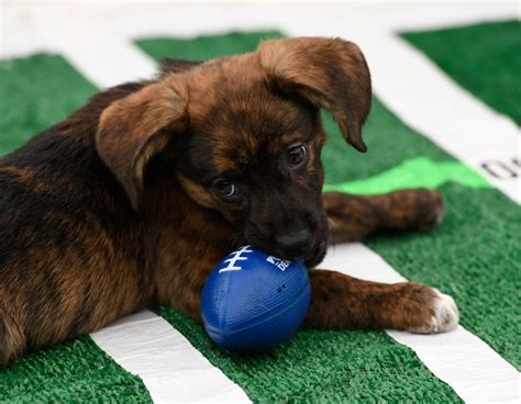 the puppy bowl here s how to the puppy bowl on bowl sunday hellogiggles