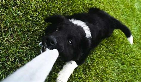tug of war with puppy dogs how to play tug of war with dogs dogs