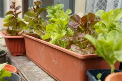 The Best Veggies To Grow Indoors The Plant Guide Indoor Vegetable Container Gardening