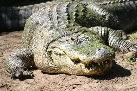 Alligators - Facts, Habitat, Diet, Breeding, Pictures ...