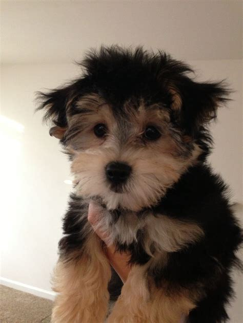 yorkie poo lion yorkie poo lion yorkie puppy cut what is a puppy cut
