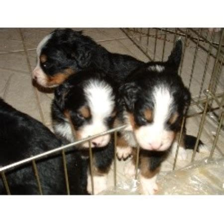 bernese mountain puppies colorado berner heaven bernese mountain breeder in nunn colorado 80648 freedoglistings