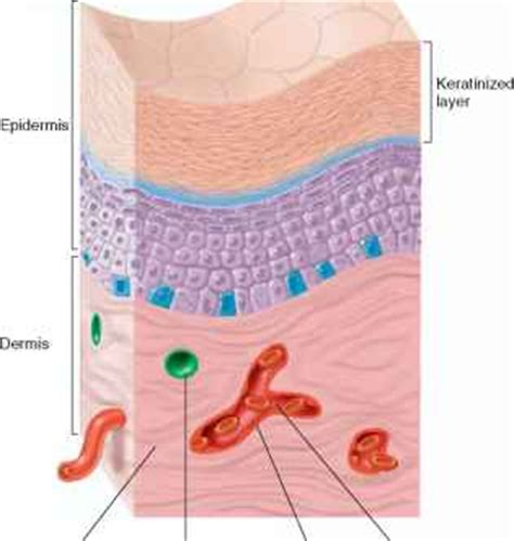 epithelial membranes human physiology  steps health