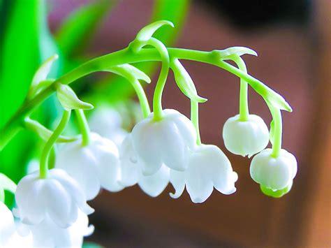 il mughetto fiore il mughetto fiore innocente dall aroma candido extrait