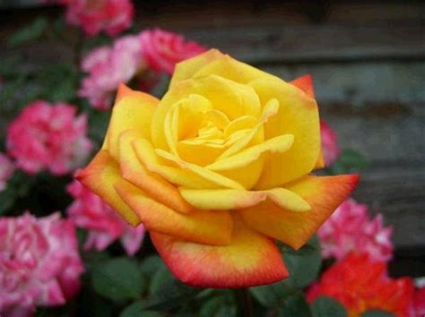 yellow roses with tips the meaning of different colored roses with pictures ehow