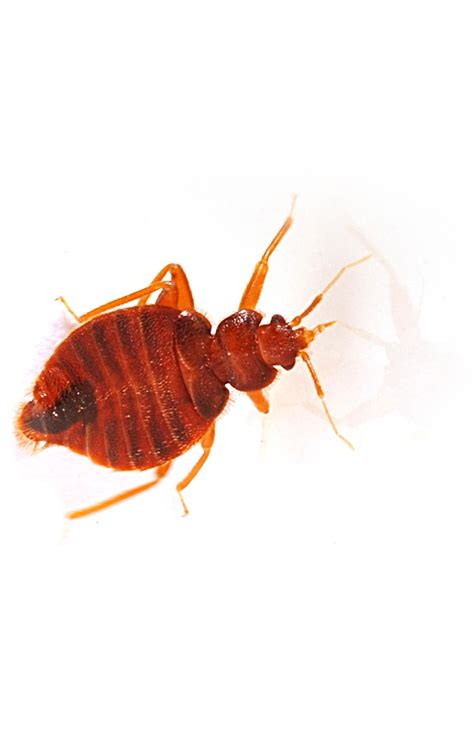 bed bug company bed bug removal pest control dc md va croppmetcalfe