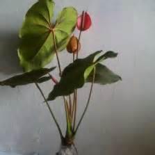 Bibit Tanaman Philo Jari Variegata tanaman philodendron black cardinal bibitbunga