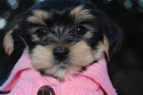 yorkie havanese the new addition yorkie havanese 8 weeks