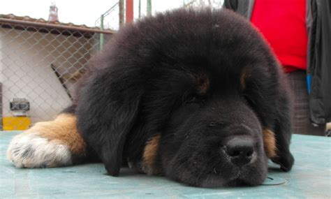 tibetan mastiff puppy for sale tibetan mastiff puppies available for sale coventry west midlands pets4homes