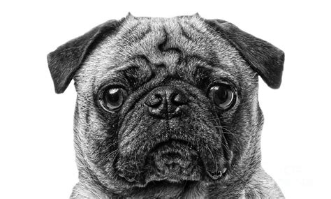 pug black and white drawing pug black and white photograph by edward fielding