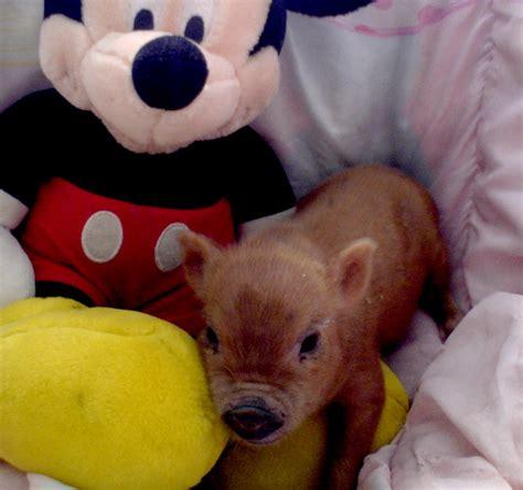 teacup for sale teacup pigs for sale teacup pig for sale get piglets