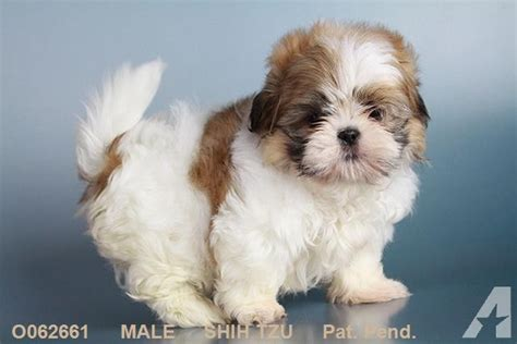 shih tzu breeders miami prices shih tzu and puggle and mini schnauzer more