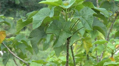 Obat Alami Tradisional Untuk Kolesterol Kencing Manis Ginjal Kista 30 tanaman apotik hidup dan manfaatnya part 1 viral bintang