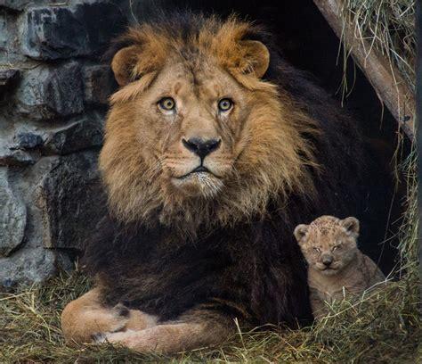 minicuentos de leones y la asombrosa conservaci 243 n de 2 cachorros de le 243 n de las cavernas