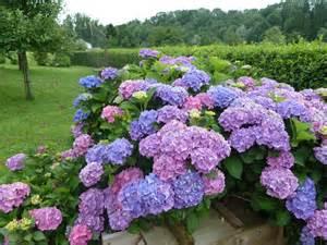 pflege hortensien im garten hortensien im garten pflanzen innenr 228 ume und m 246 bel ideen