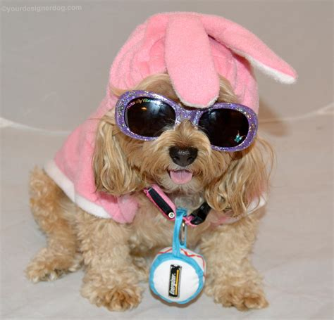 yorkie poo costumes costume cuteness yourdesignerdog