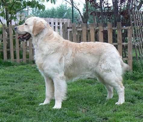 golden retriever house golden retriever house 28 images golden retriever dinastia canina house guide for